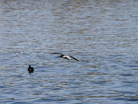 seagull on the Manzanares river as it passes through the city of Madrid 写真素材