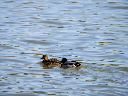 Ducks in the lake in park of Madrid recovered for funa and flora in the city of Madrid