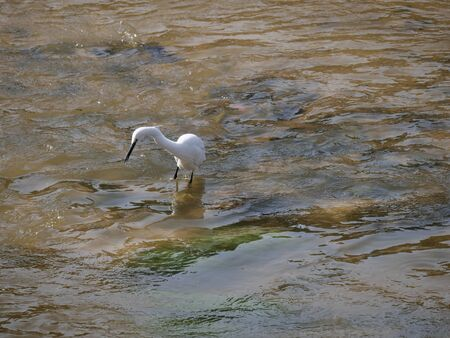 egret in the Manzanares River where they come and feed