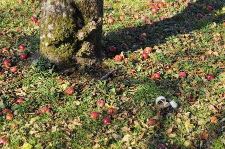 sandal tree: Sandalia en virtud de un manzano
