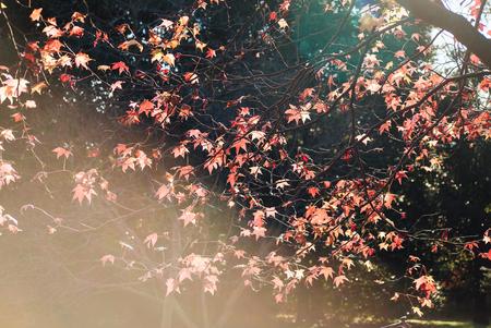 Autumn Maple leaf in Showa Memorial park