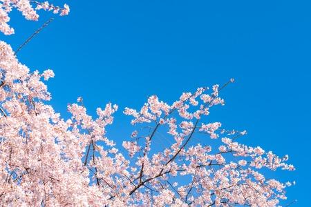 Fiore di ciliegio (sakura) con uccelli sotto il cielo blu
