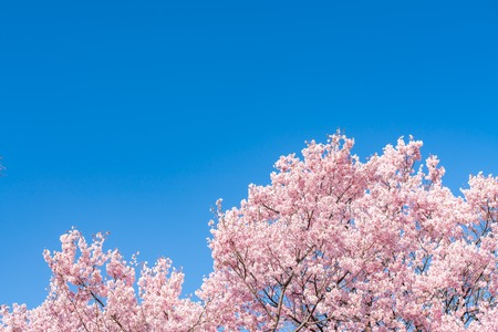 Cherry blossom (sakura) with birds under the blue sky 版權商用圖片