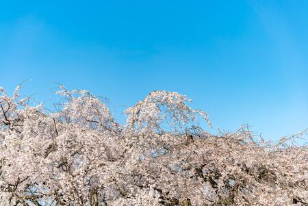 Cherry blossom (sakura) with birds under the blue sky