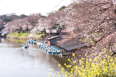 Visitors enjoying the scenario surrounded by Chidori-ga-fuchi Moat's cherry blossoms (sakura) on a rental boat ride. Editöryel