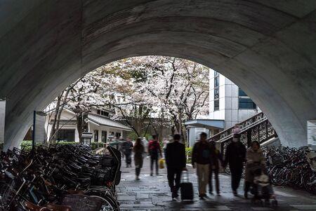 Sakura cherry blossom full bloom at Asukayama park 스톡 콘텐츠