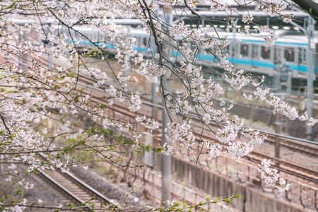Tokyo, Japan-March 29, 2019: The front of the train platform is full of cherry blossoms, Cherry blossoms of Asukayama Park. Is famous cherry blossom viewing spots in Tokyo, Japan.