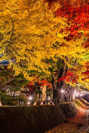 Night display of the colorful trees in autumn at Fujikawaguchiko next to Lake Kawaguchi in Japan