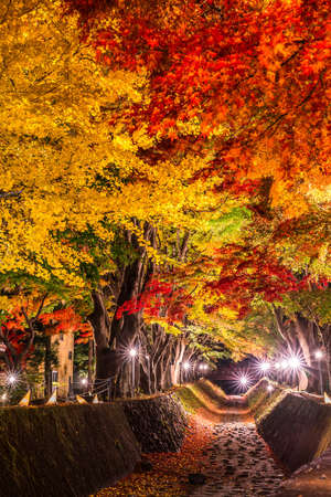 Night display of the colorful trees in autumn at Fujikawaguchiko next to Lake Kawaguchi in Japan