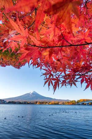 Colorful Autumn in Mount Fuji, Japan-Lake Kawaguchiko is one of the best places in Japan to enjoy Mount Fuji scenery of maple leaves changing color giving image of those leaves framing Mount Fuji.