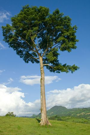 sentinel: Regal ceiba pentandra tree standing as a lone sentinel on a hill