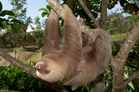 slow motion: Two toed sloth in slow motion