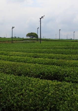 ferme de th� vert