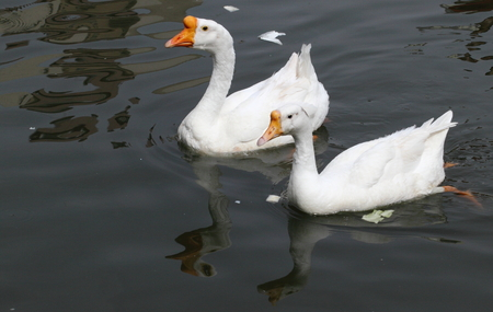 A pair of swim swam at lake