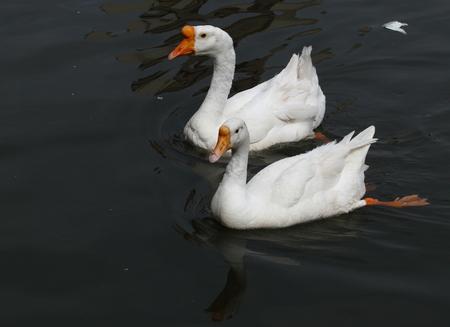 A pair of swan swim in the lake