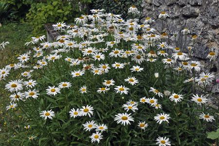 parterre of daisies 版權商用圖片