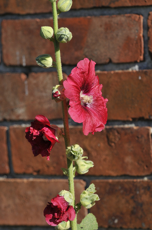 Hollyhock Stockfoto