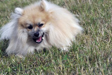 dwarf Spitz dog Stock Photo