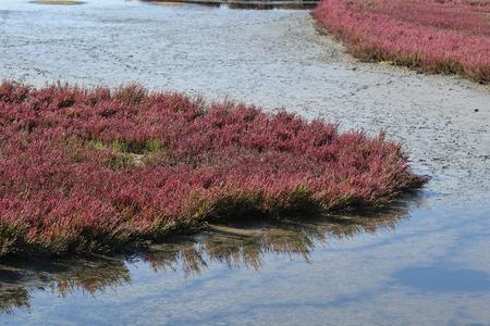 salicornia in salt marshes Stock Photo