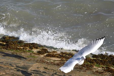 gulls in flight at seaside