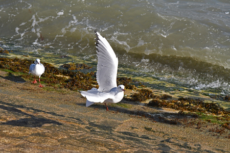 gulls in flight at seaside
