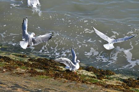 gulls in flight by the sea Foto de archivo