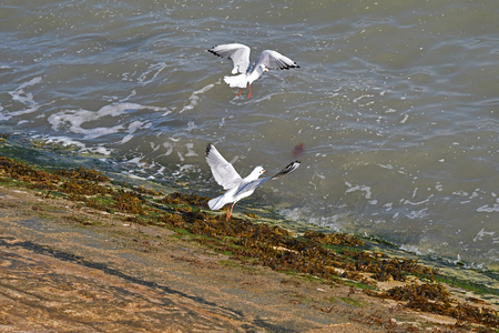 gulls in flight by the sea Banque d'images