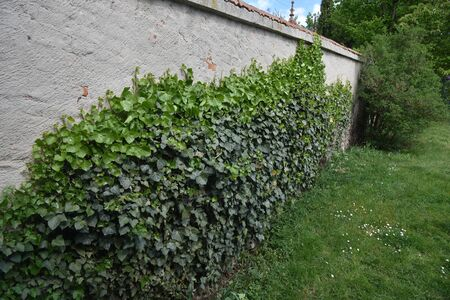 ivy on a wall