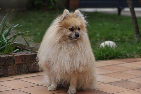 dwarf Spitz dog Фото со стока