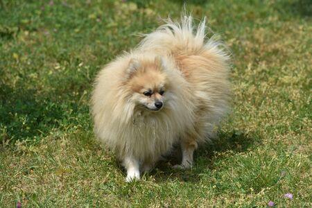 dwarf spitz dog