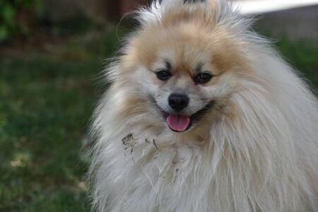 dwarf spitz dog head Фото со стока