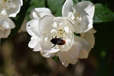 bumblebee foraging in a seringa flower