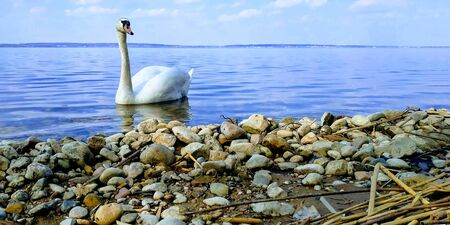 Graceful white Swan swimming in the lake. Beautiful swan. Single white Swan on the pond. Water on background Stock Photo