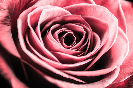 Pink Rose Close Up Banco de Imagens