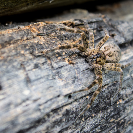 crawly: Wolf Spider on a Log Stock Photo