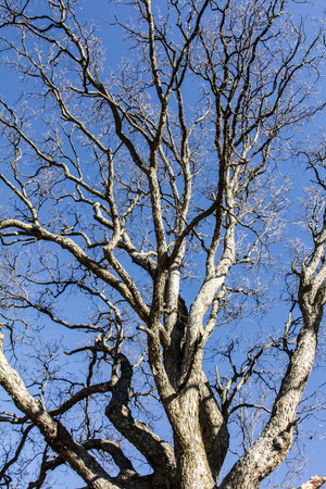 ash tree: Ash tree on a clear day Stock Photo