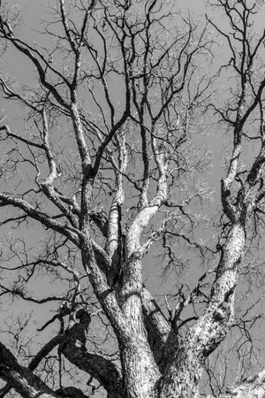 Black and white ash tree