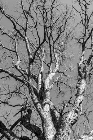 ash tree: Black and white ash tree