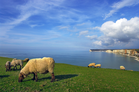 Yport - Sheep and cliffs
