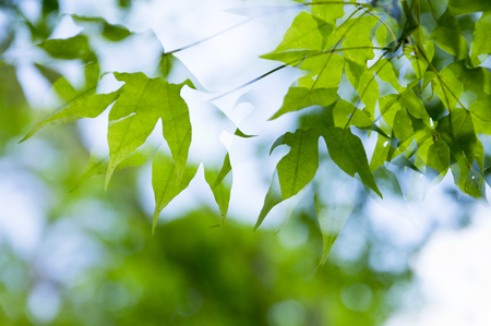岩カエデの葉