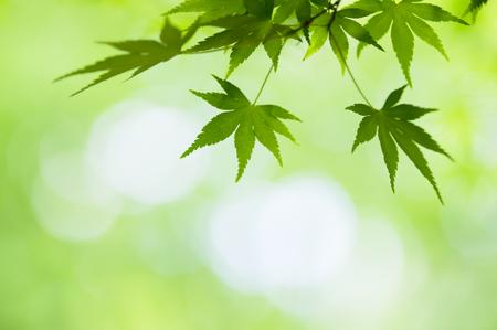 jade plant: Japan green Maples