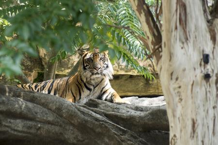 Sumatran tiger in the shade of a tree