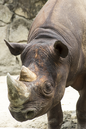 Eastern black rhinoceros face 写真素材