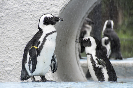 Penguins are taking a shower