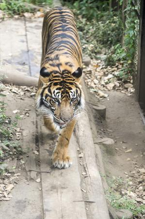 タイガー歩き