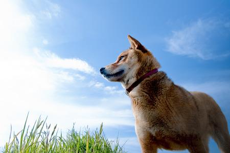 Blue sky and Shiba Inu