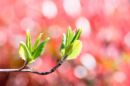 Stewartia tree sprouts (red background)