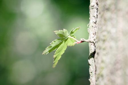 Soft maple leaf