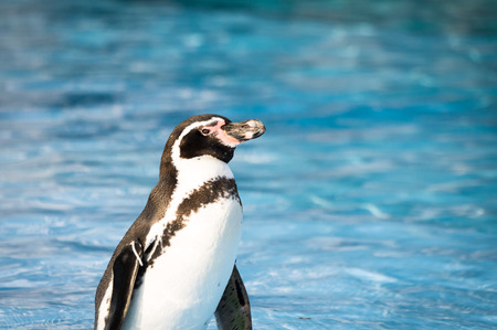 Humboldt penguins are playing in the pool