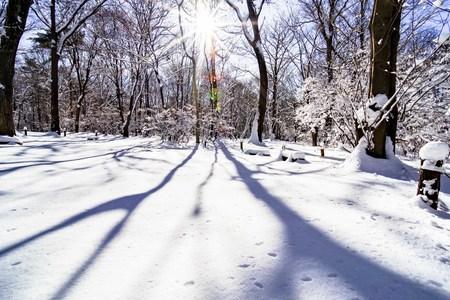 Sunny snowy forests and sunshine 版權商用圖片